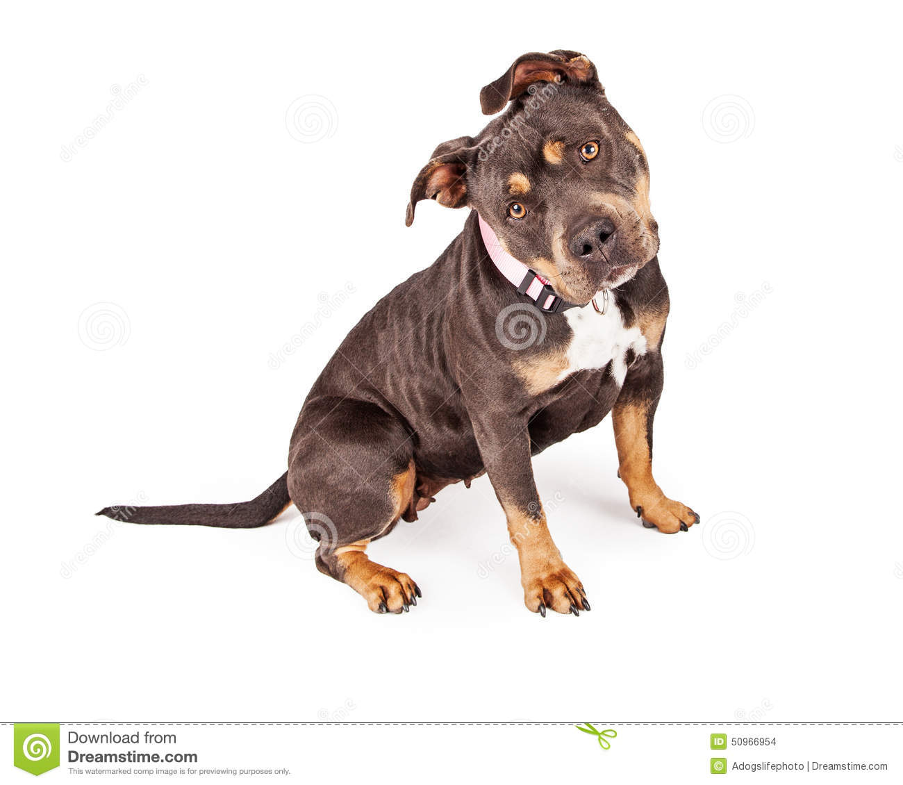 tri color pit bull dog tilting head stock photo image of cutout