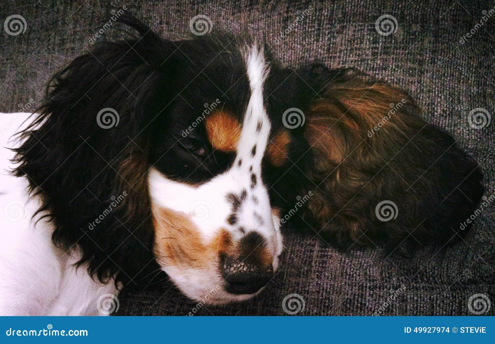 Tri Colour Cocker Spaniel Puppy Stock Photo Image Of Cocker Spaniel 49927974
