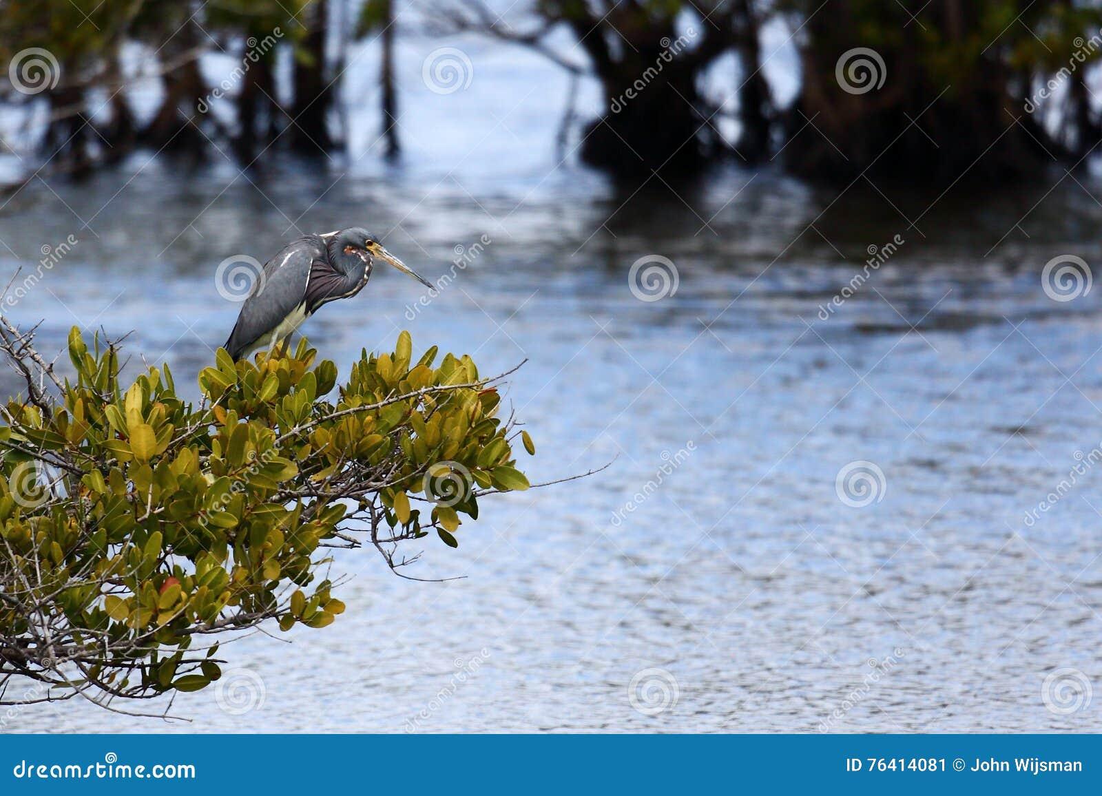 Tri-gekleurde reiger die zich op een struik over een moeras bevinden
