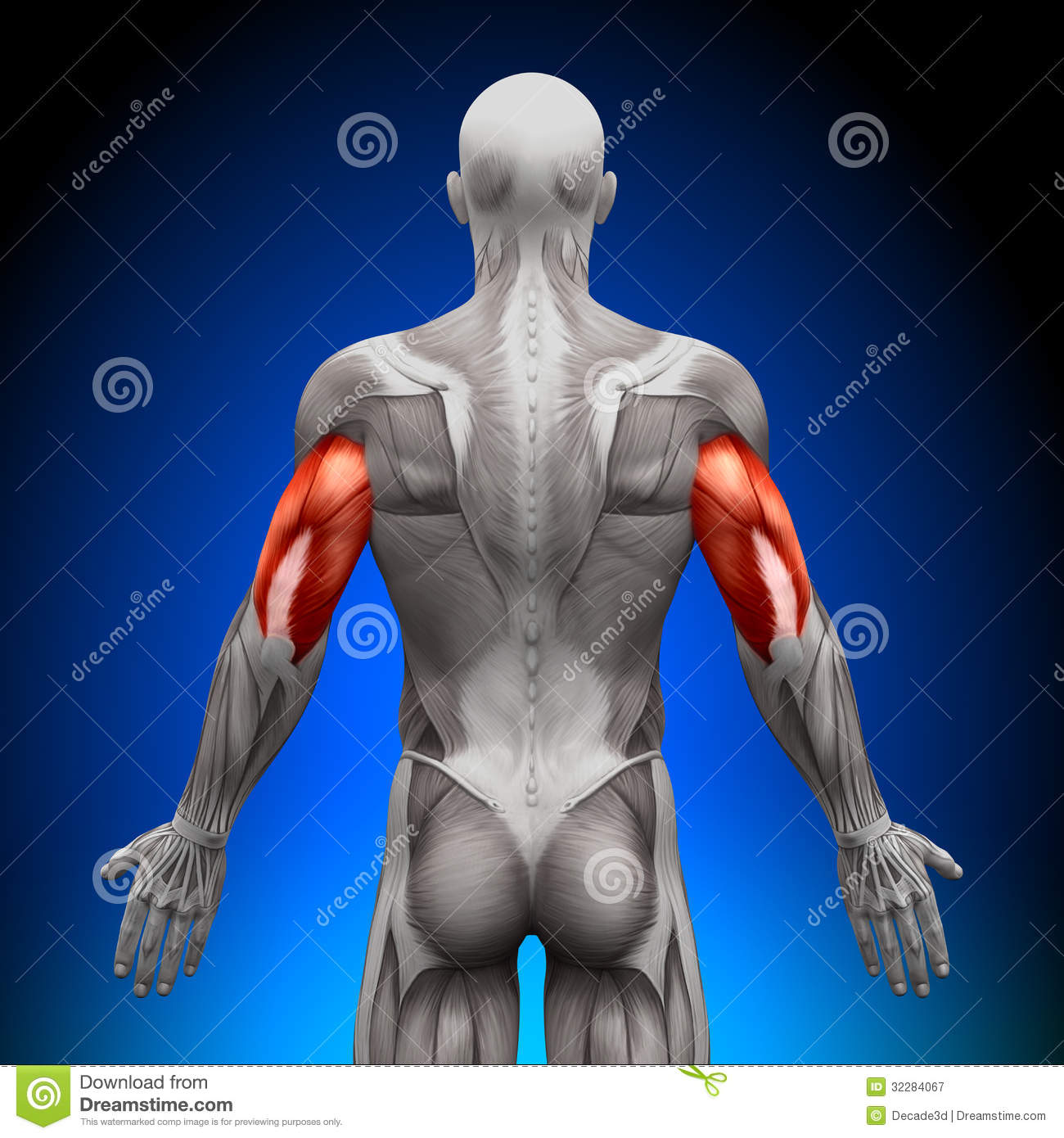 Triceps Anatomy Muscles Stock Illustration Illustration Of