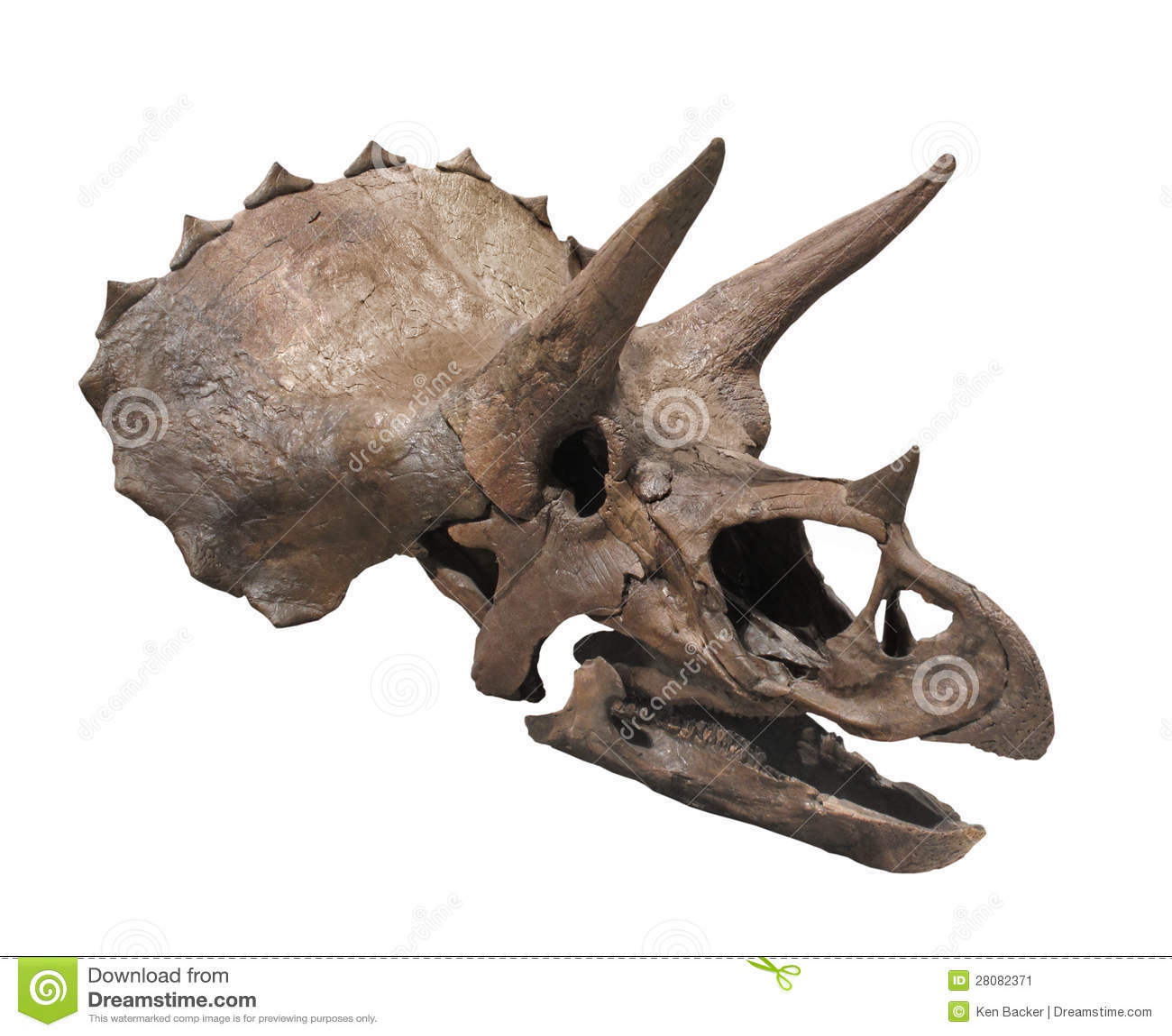 Triceratops Dinosaur Skull Isolated Stock Image