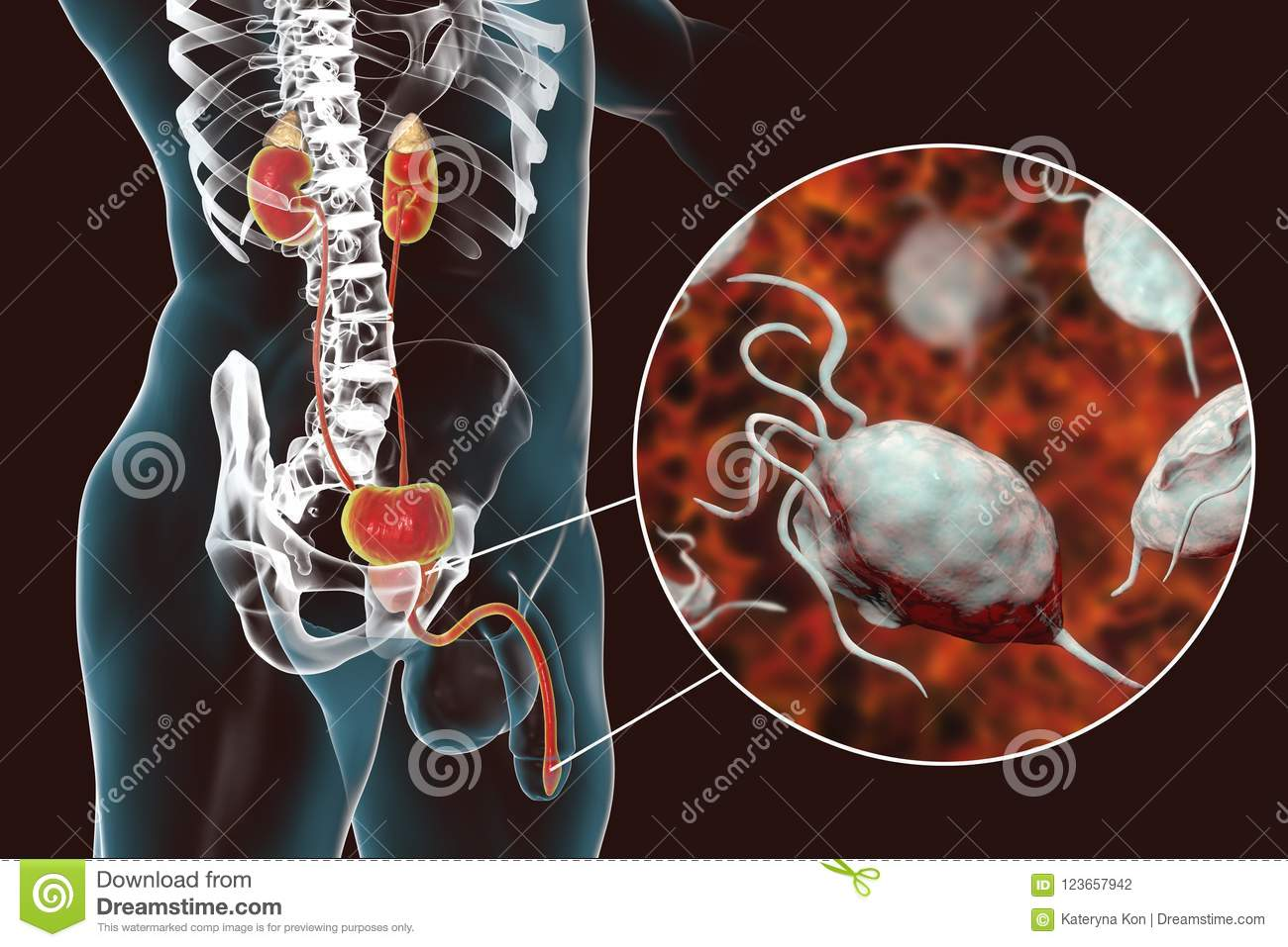 Male Genitourinary System Royalty-Free Stock Photography