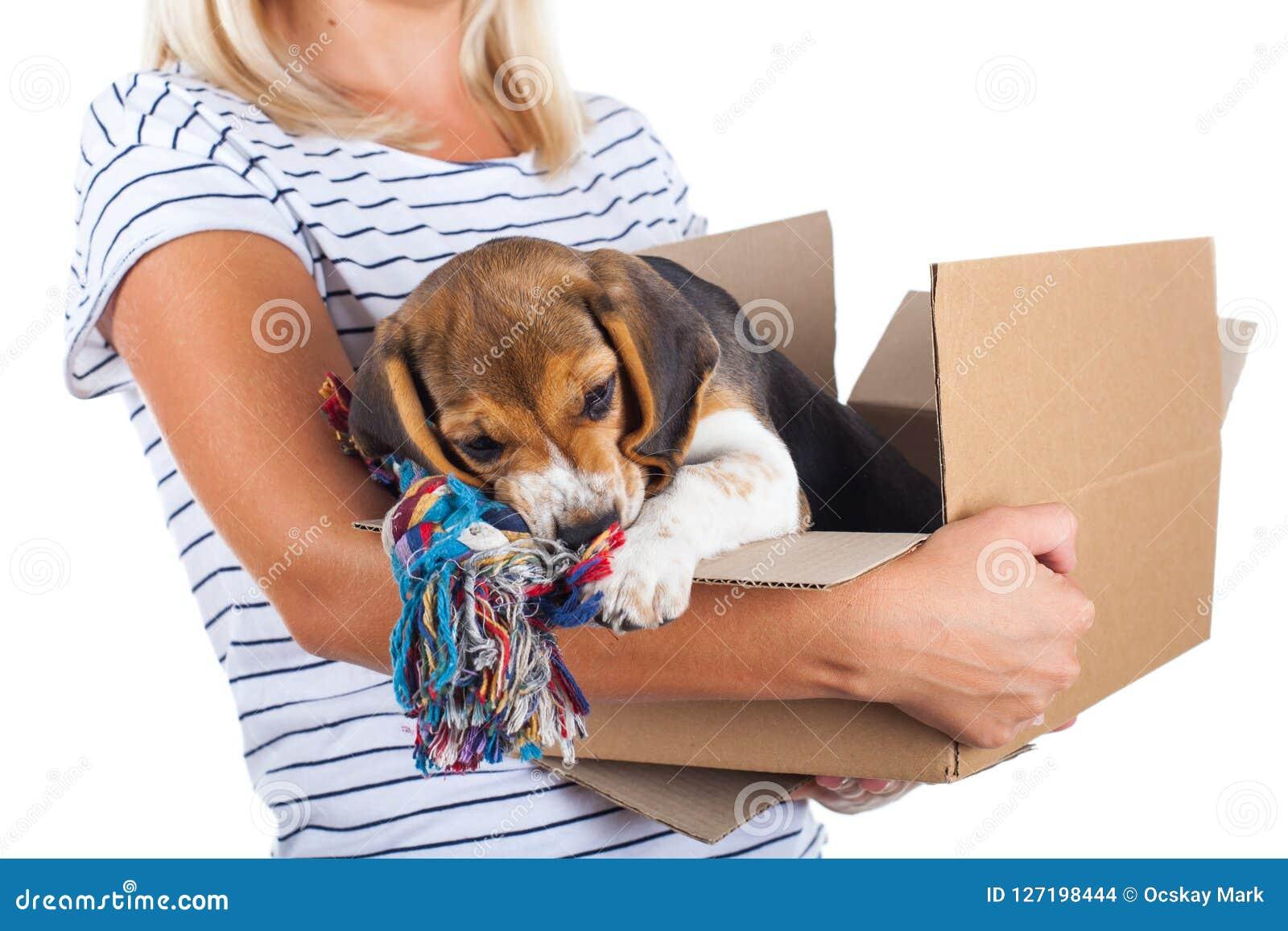 Tricolor щенок бигля в коробке