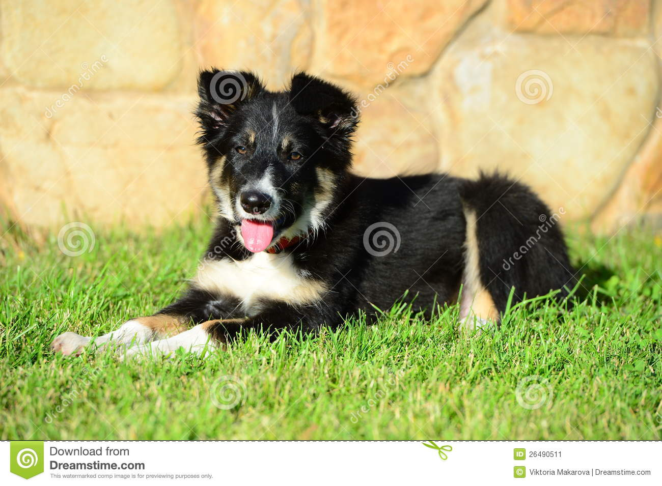 A Tricolor Border Collie Puppy Dog Laid Down Stock Image Image Of Handsome Looking 26490511