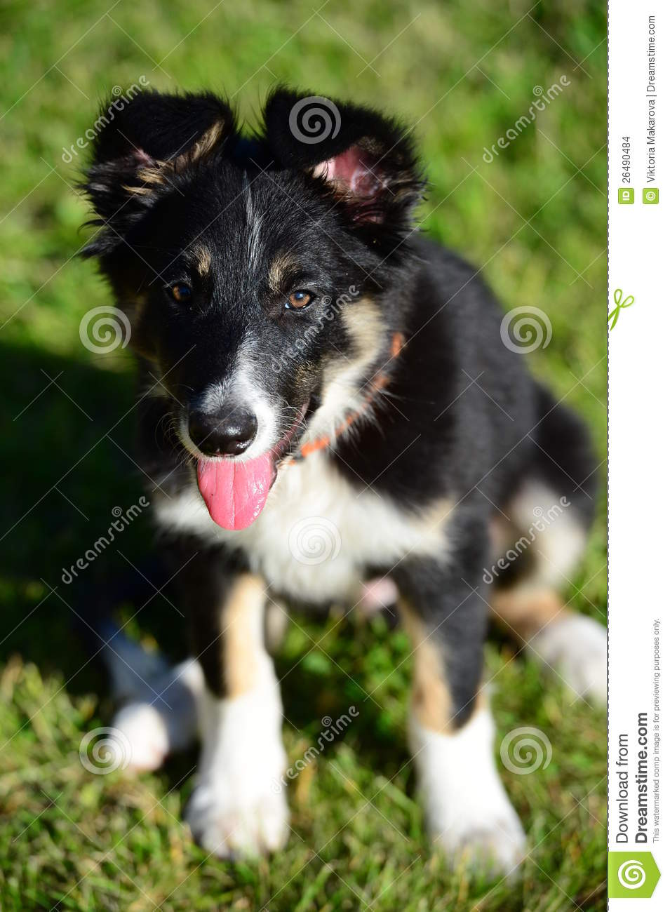 965 Border Collie Tricolor Photos Free Royalty Free Stock Photos From Dreamstime