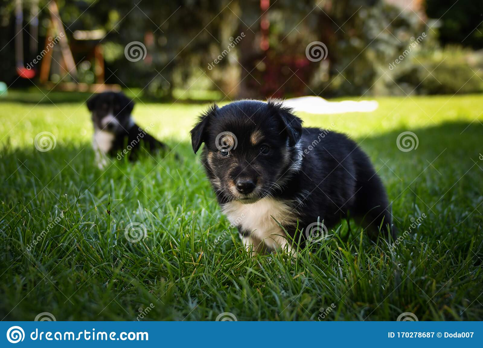 Tricolor Border Collie Puppy He Looks Like Teddybear Stock Image Image Of Nature Animal 170278687