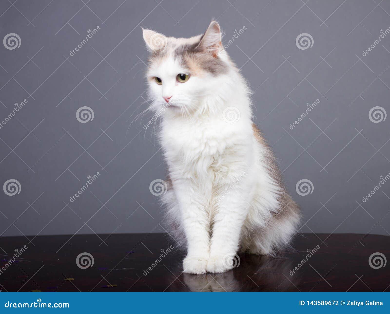 Tricolor kattblick som bort ser, vitt husdjur