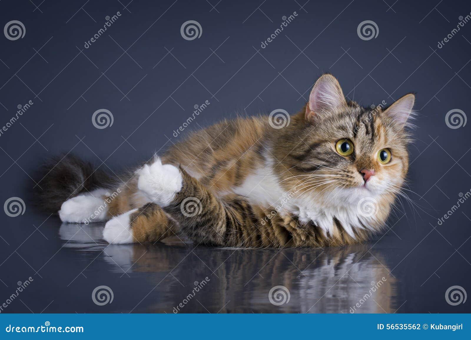 Tricolor Puszysty Syberyjski Kot Odizolowywający Na Szarym Tle