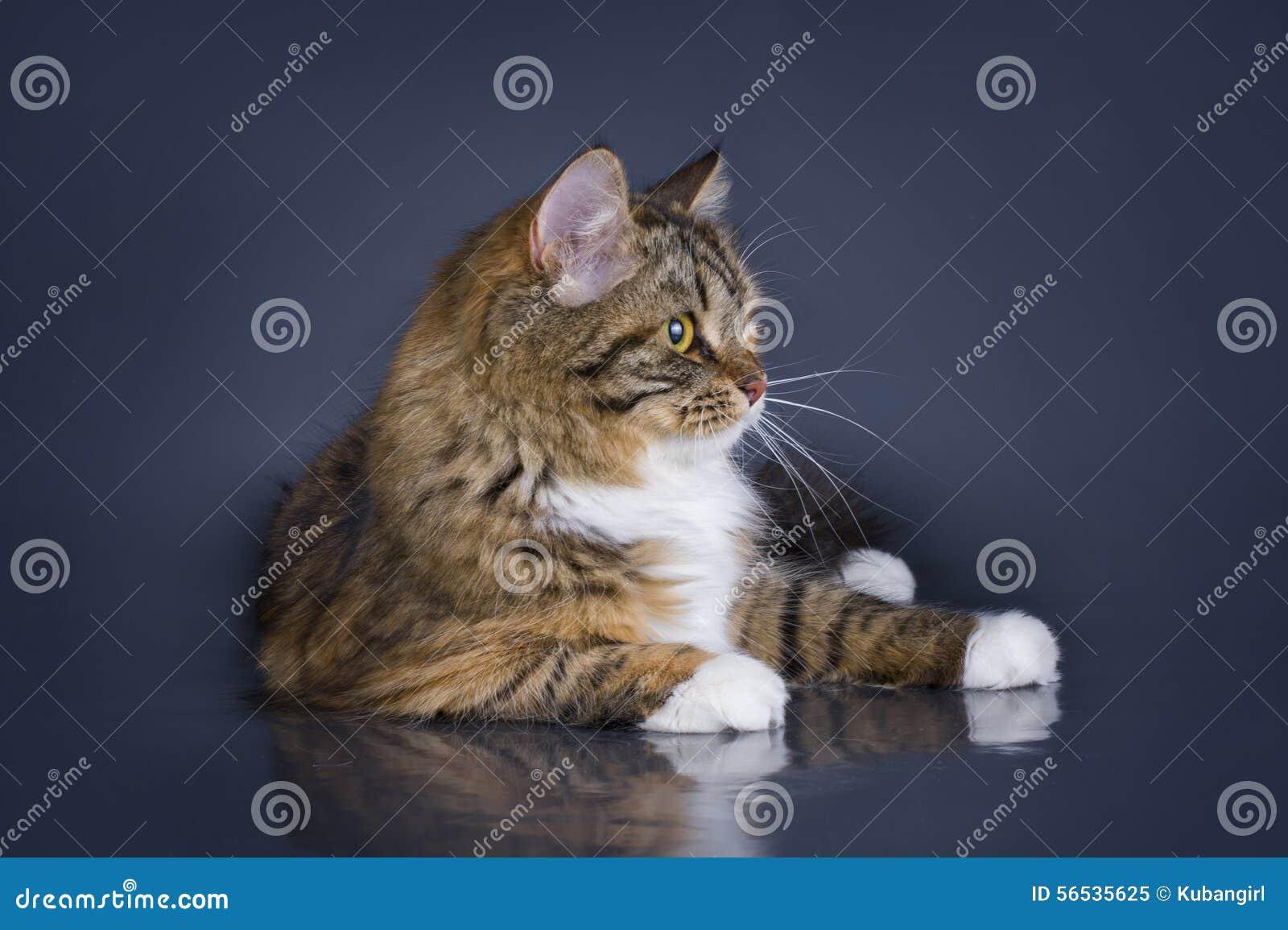 Tricolor Puszysty Syberyjski Kot Odizolowywający Na Szarym Tle Obraz