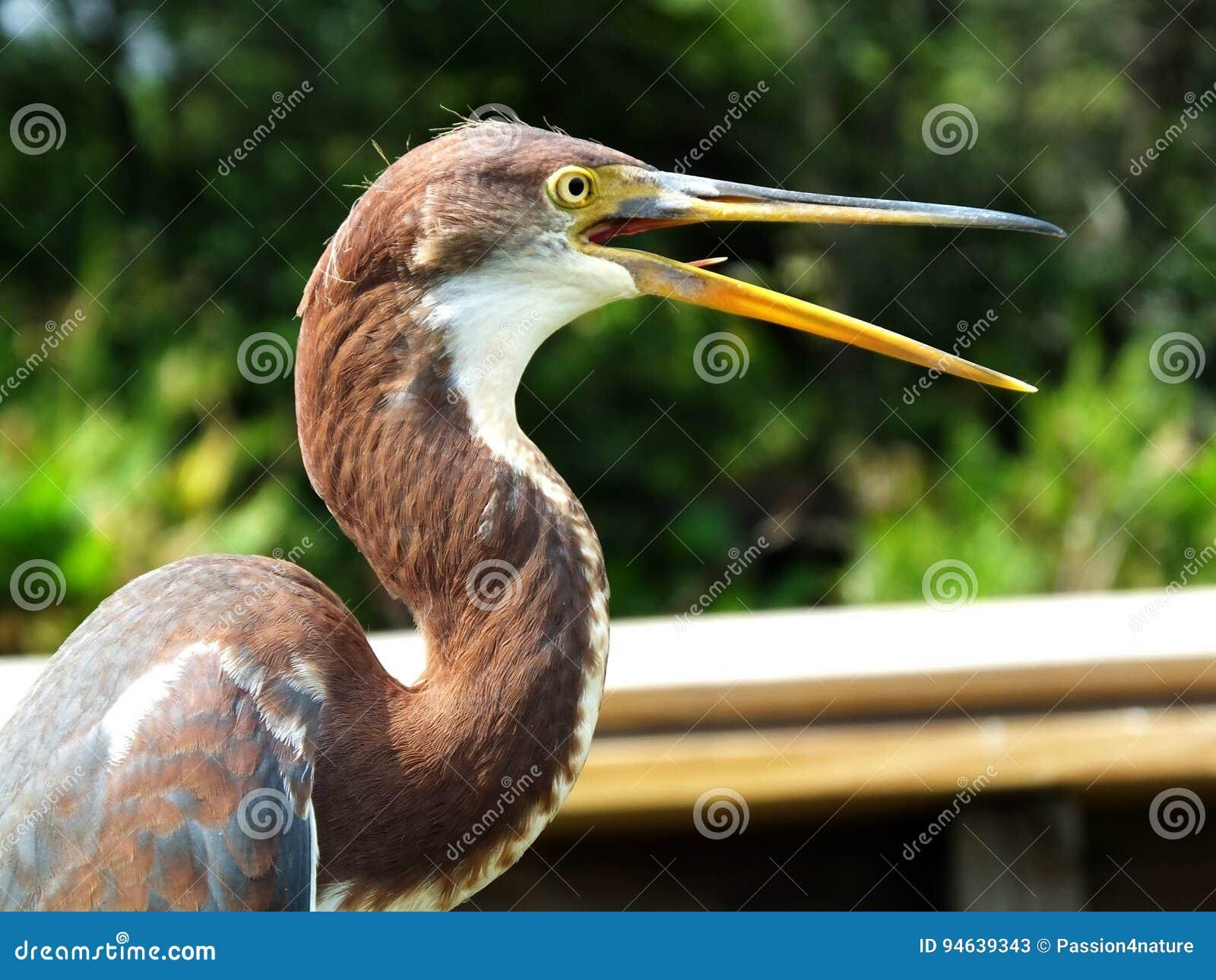 Tricolor van Egretta van de Tricoloredreiger