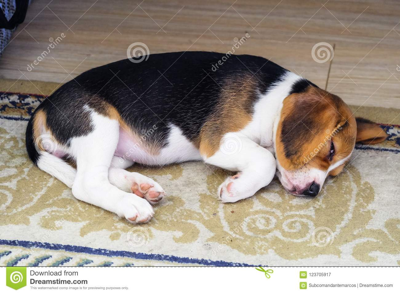 A Beagle Puppy Little Nice Doggy Relaxing On A Carpet Stock Image Image Of Home Friend 123705917