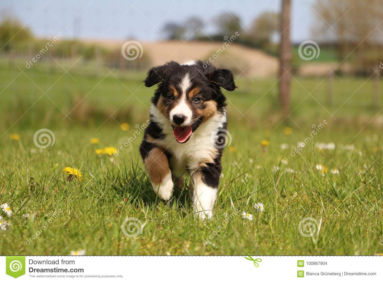Tricolored Border Collie Puppy In The Garden Stock Photo Image Of Happy Germany 100867904