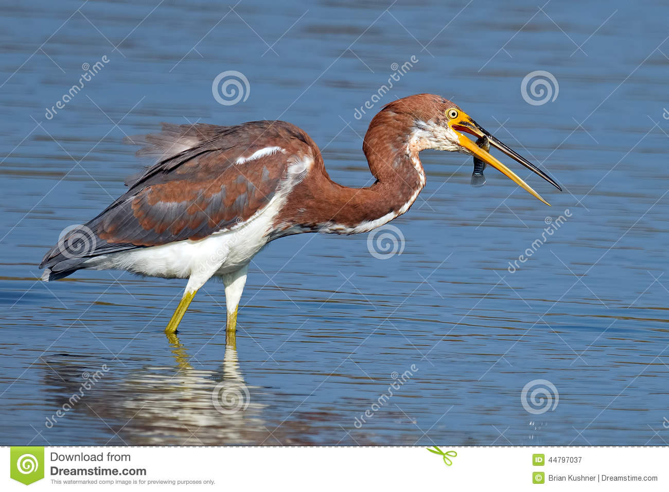 Tricolored heron with fish stock image image of for Dreaming of eating fish