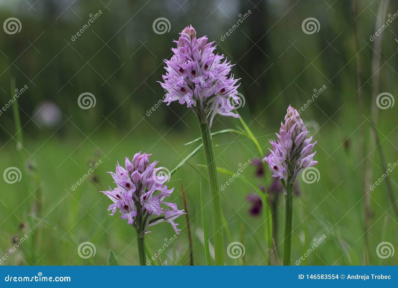 Tridentata Tre-dentato di Neotinea dell orchidea che fiorisce in un campo in Slovenia