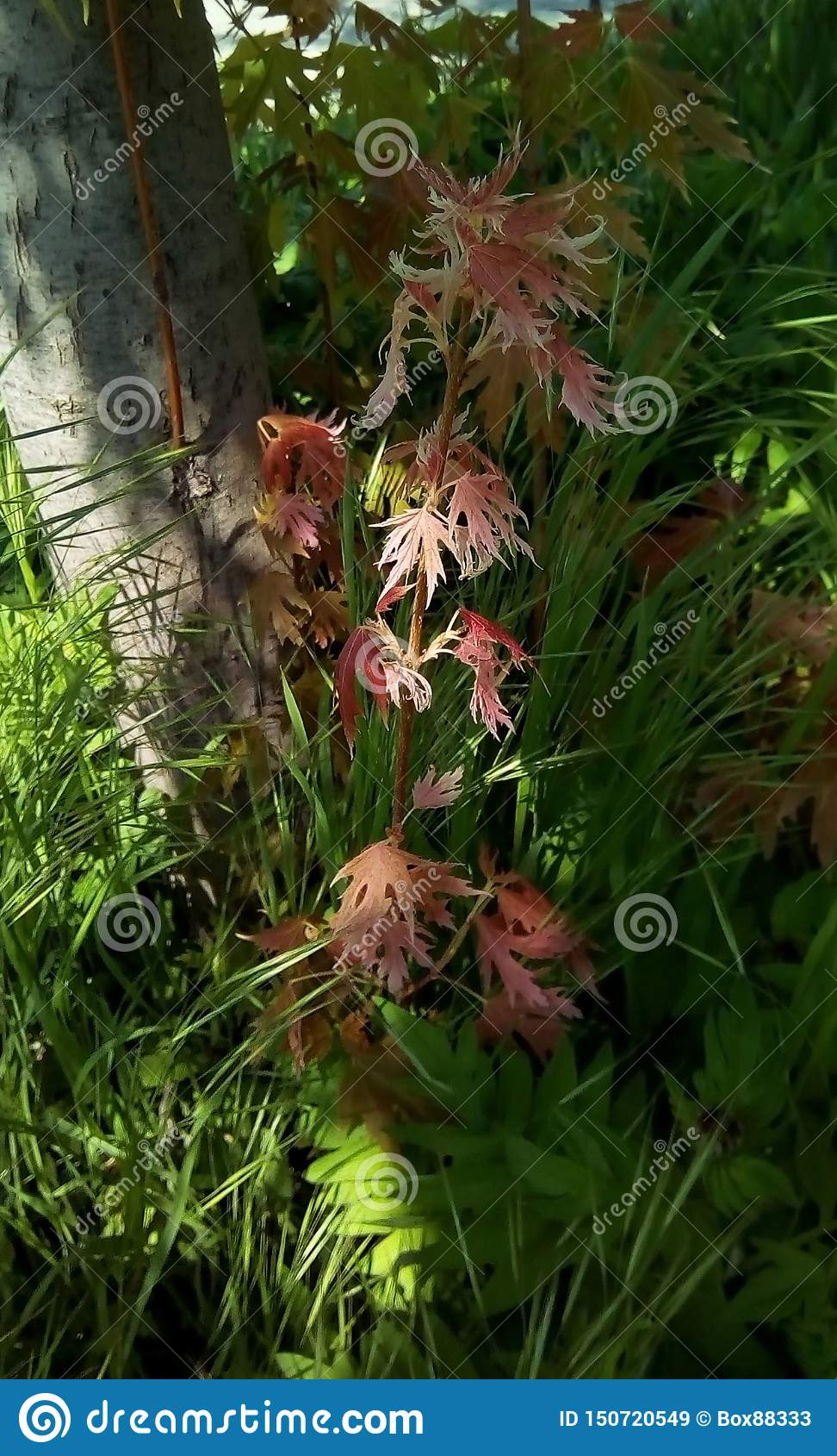 Triebe mit rosa Blättern im Schatten eines Baums, gegen einen Hintergrund des grünen Grases