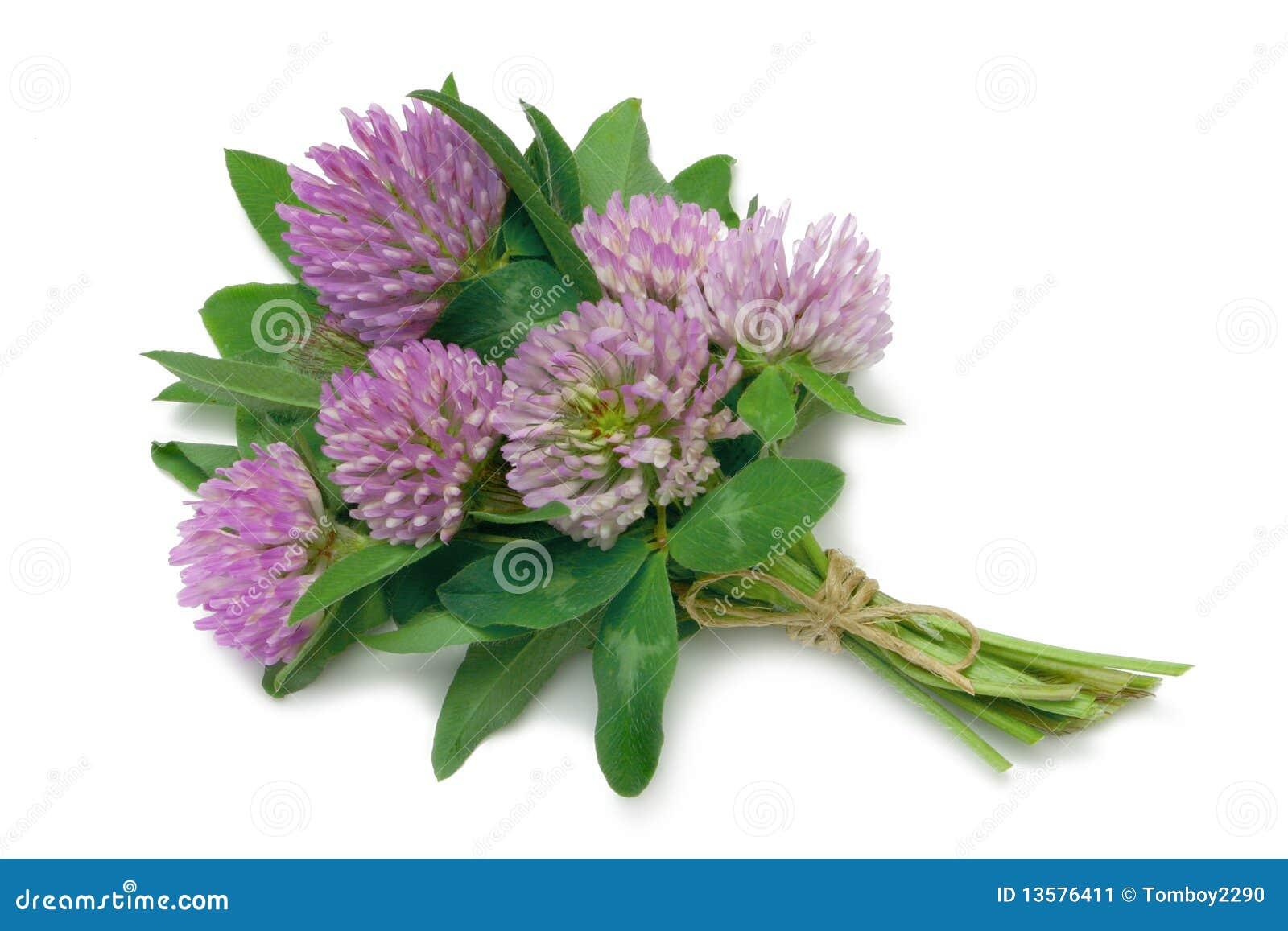 Trifolium красного цвета pratense клевера