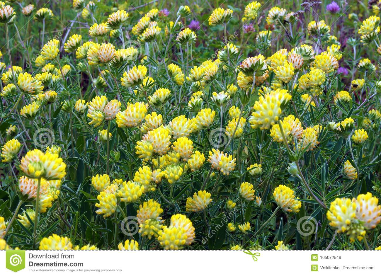 Trifolium Cyathiferum With Yellow Flowers Stock Photo Image Of