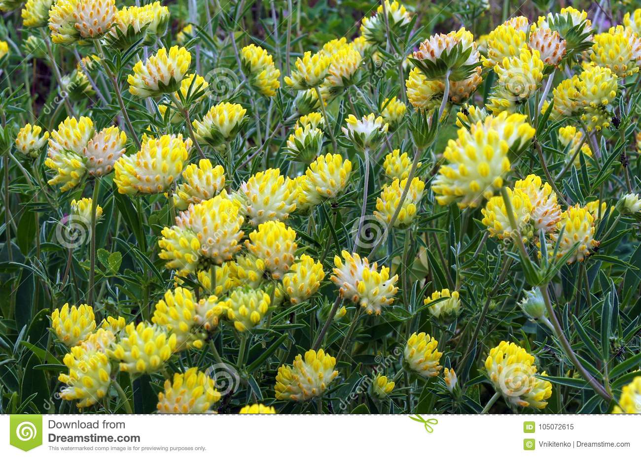 Trifolium Cyathiferum With Yellow Flowers Stock Image Image Of
