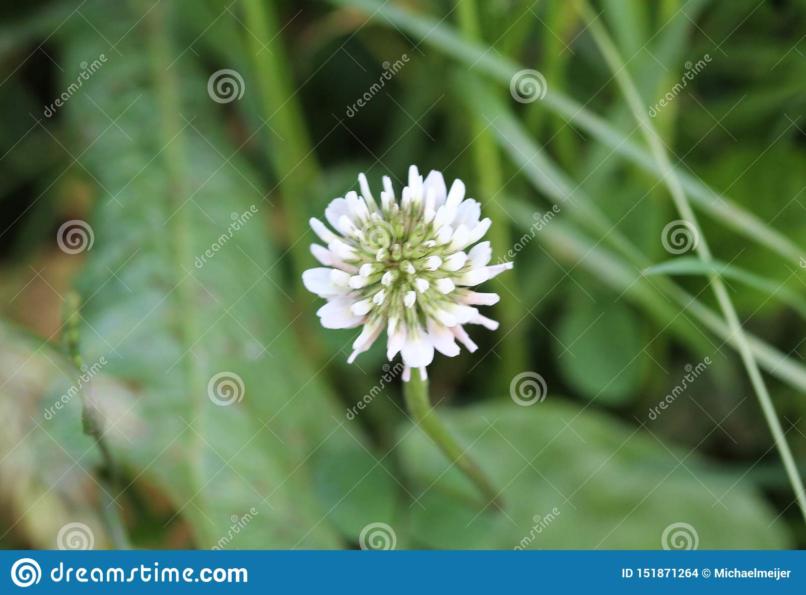 Trifolium repens, also know as the white clover, Dutch clover, Ladino clover, or Ladino, blooming in spring