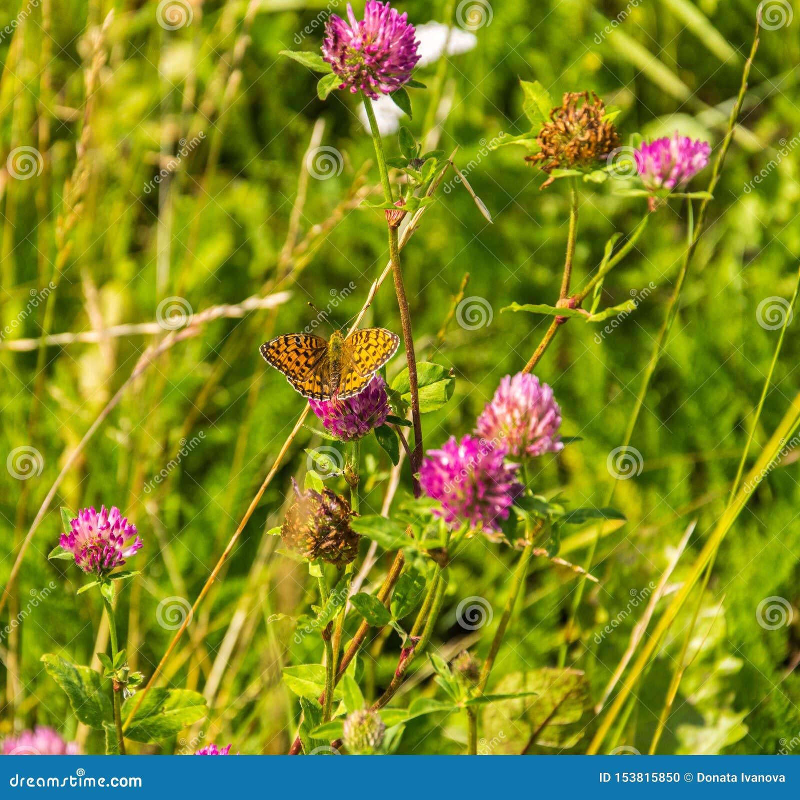 Trifoliumpratense - röd växt av släktet Trifolium med den höga bruna Fritillaryfjärilen - Argynnisadippe