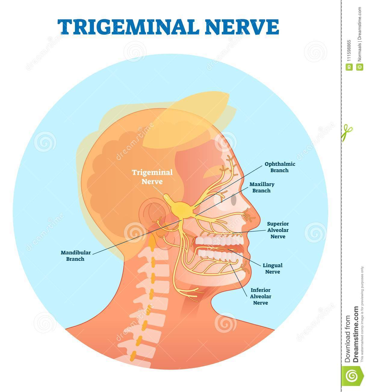 Trigeminal Nerve Anatomical Vector Illustration Diagram With Human