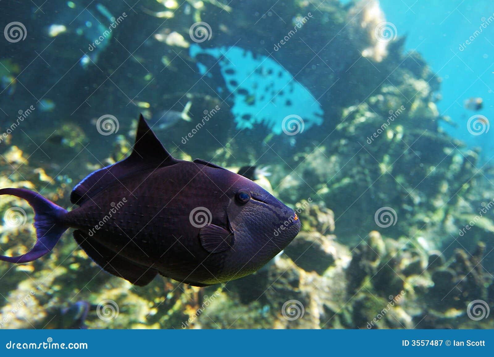 Trigfish