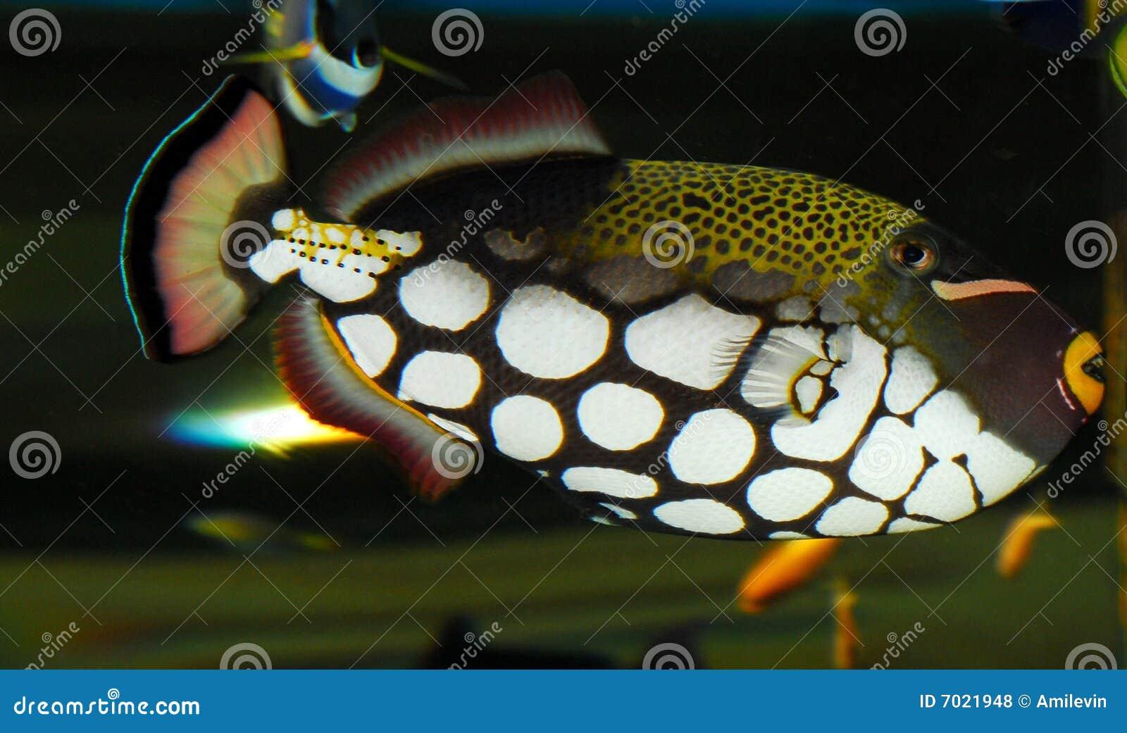 Triggerfish клоуна