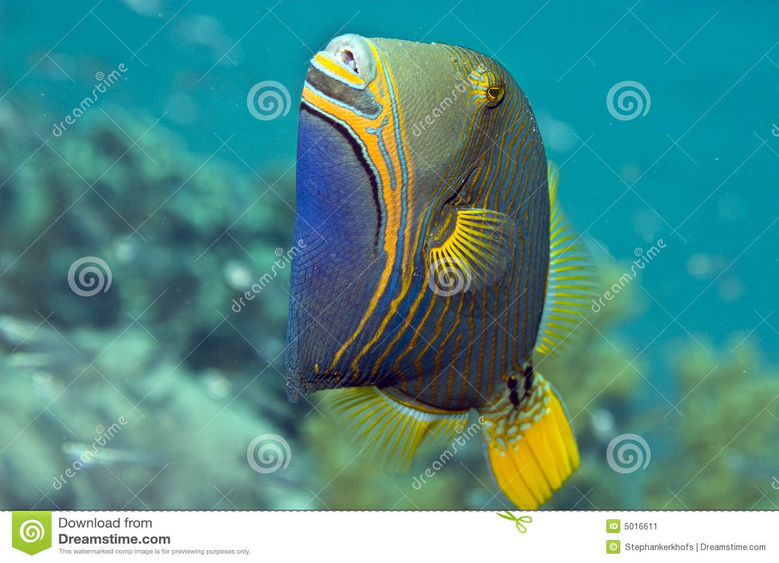 Triggerfish Alaranjado-listrado (undulatus do balistapus)
