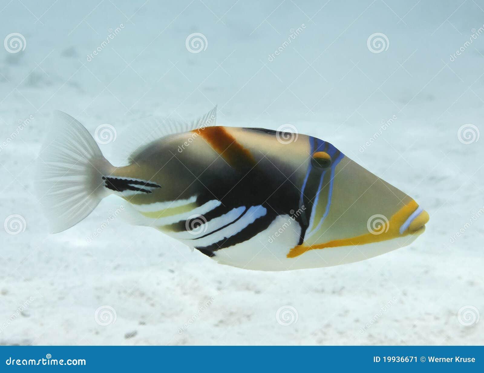 Triggerfish de Picasso