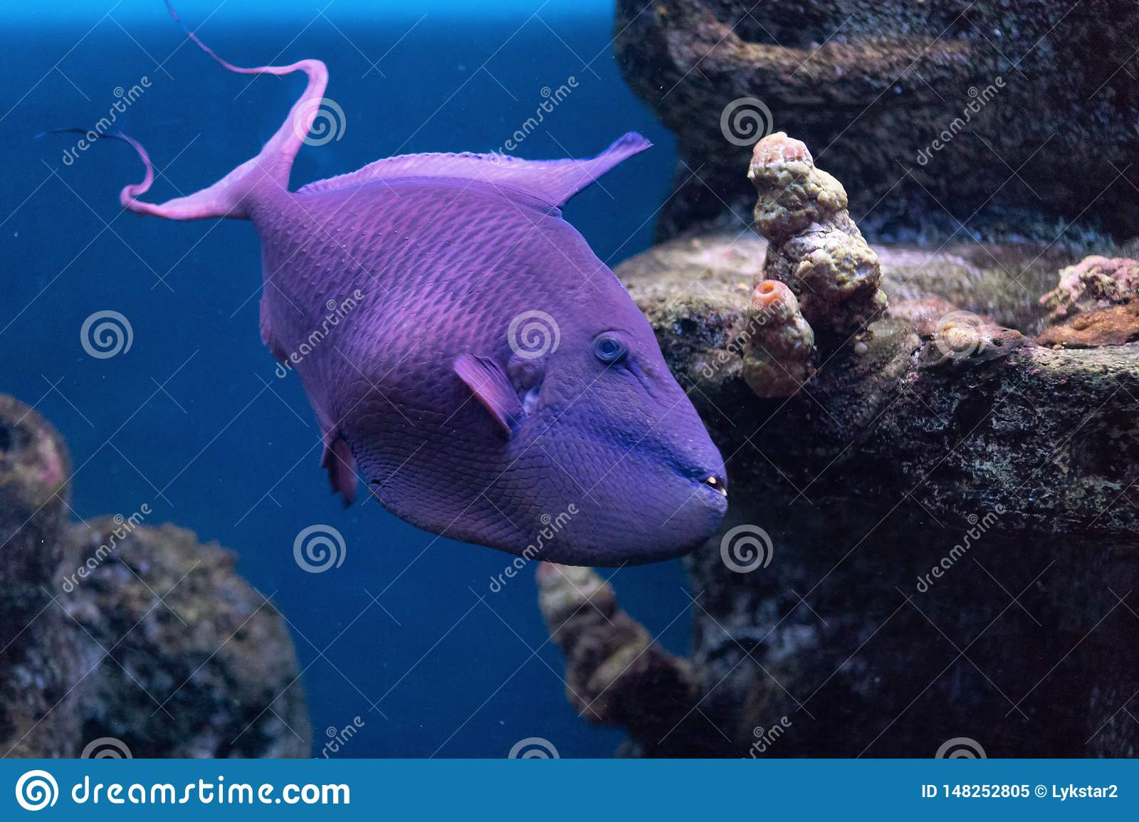 Triggerfish Krasnopolye or Queen black trigger, Red-notched Red Fang trigger exotic handsome fish with strong teeth raskrytaya