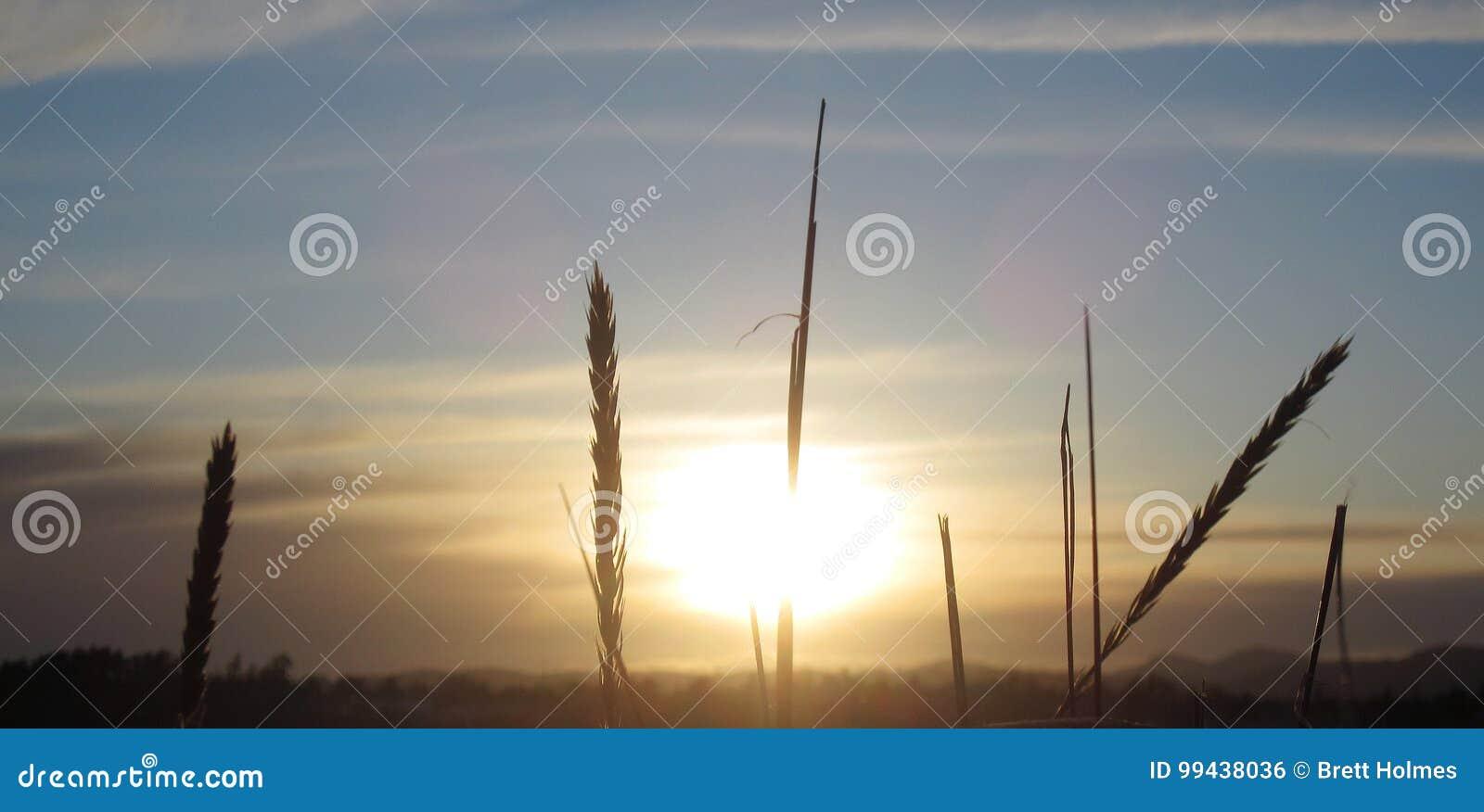 Trigo con puesta del sol