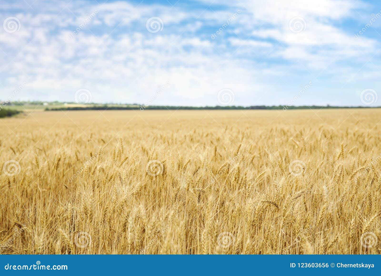 Trigo de oro en campo de grano
