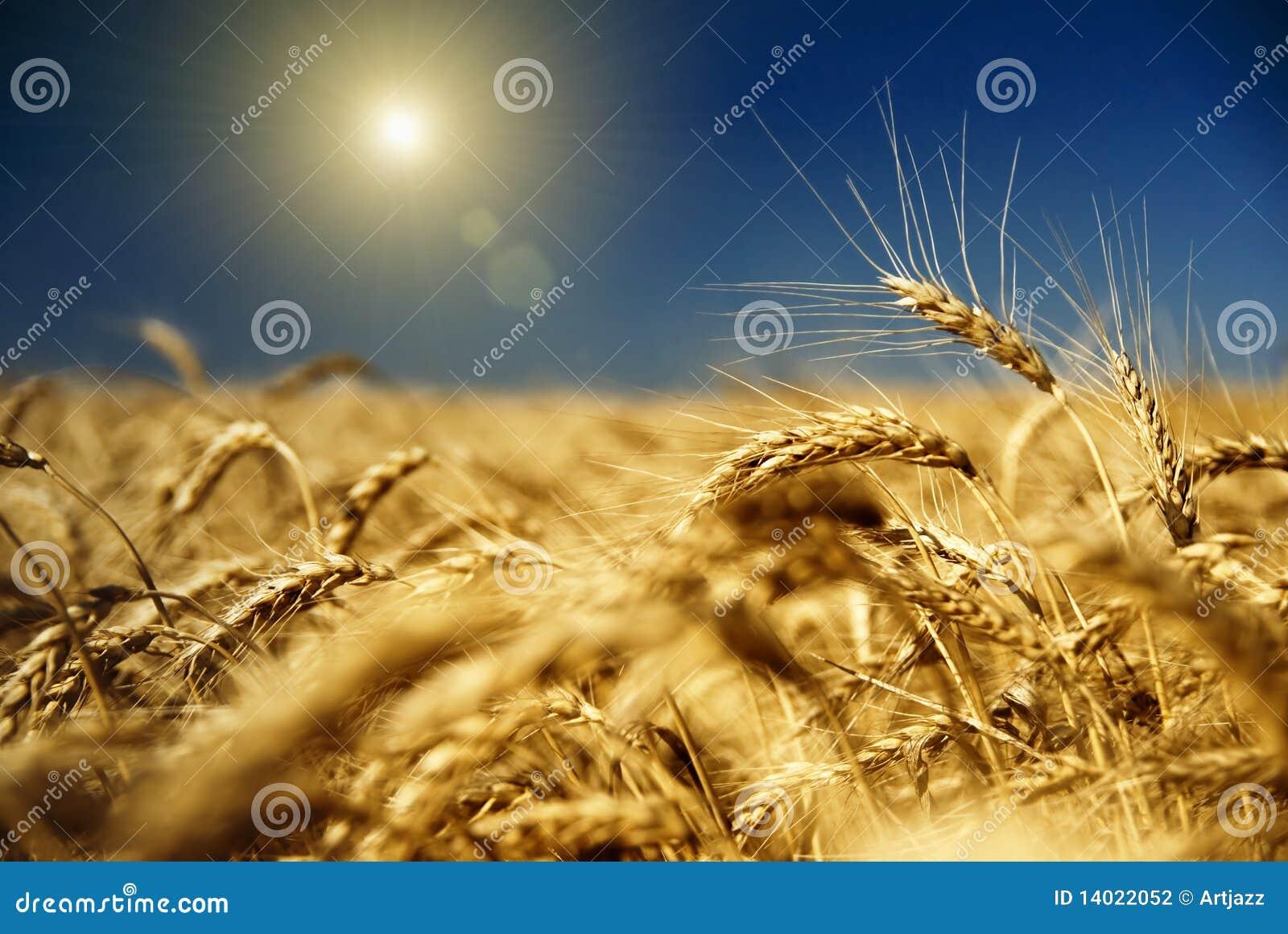 Trigo del oro y cielo azul