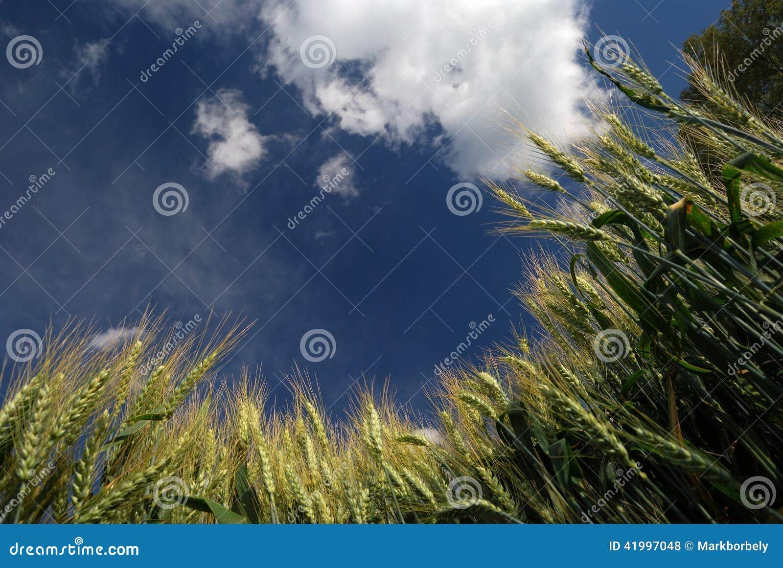 Trigo e céu azul