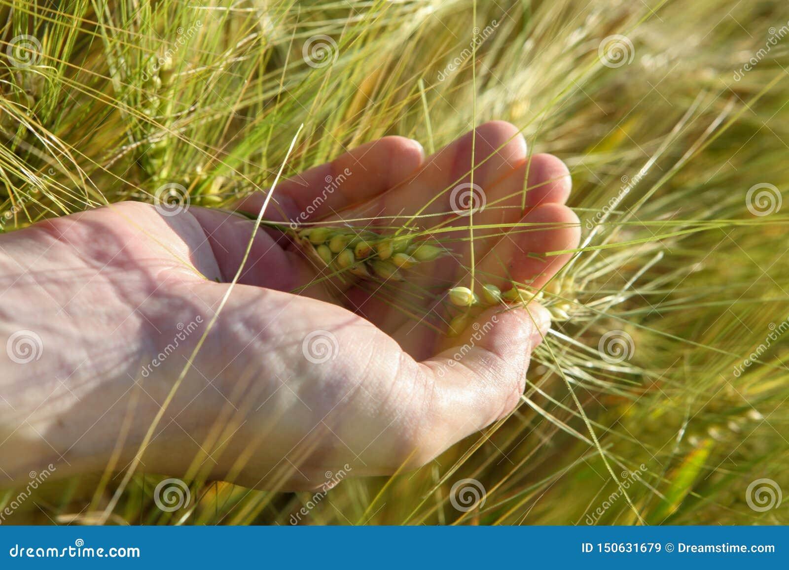 Trigo na palma no campo no verão