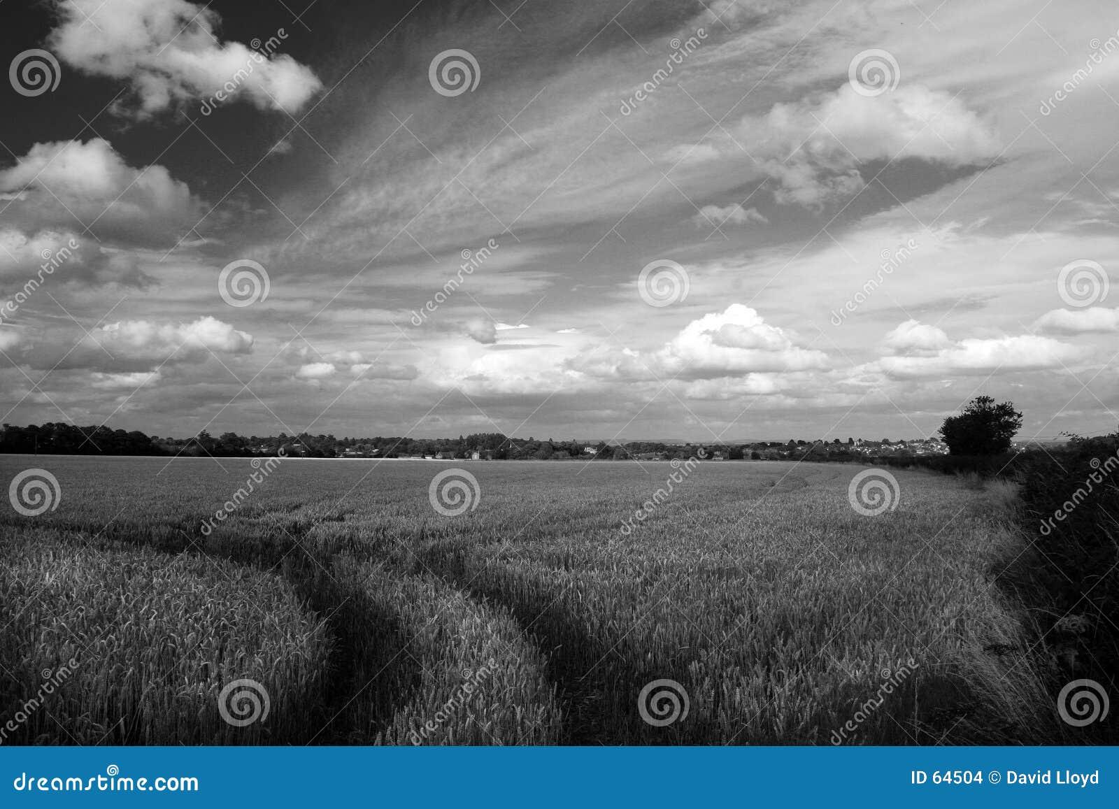 Trilhas no wheatfield
