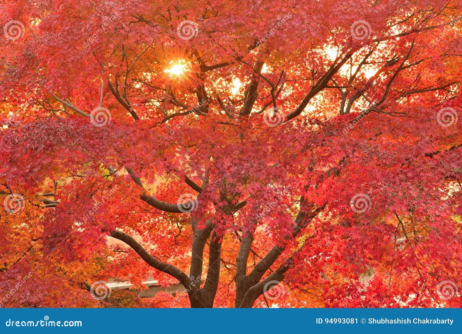 Trillend Japans Autumn Maple verlaat Landschap met vage achtergrond