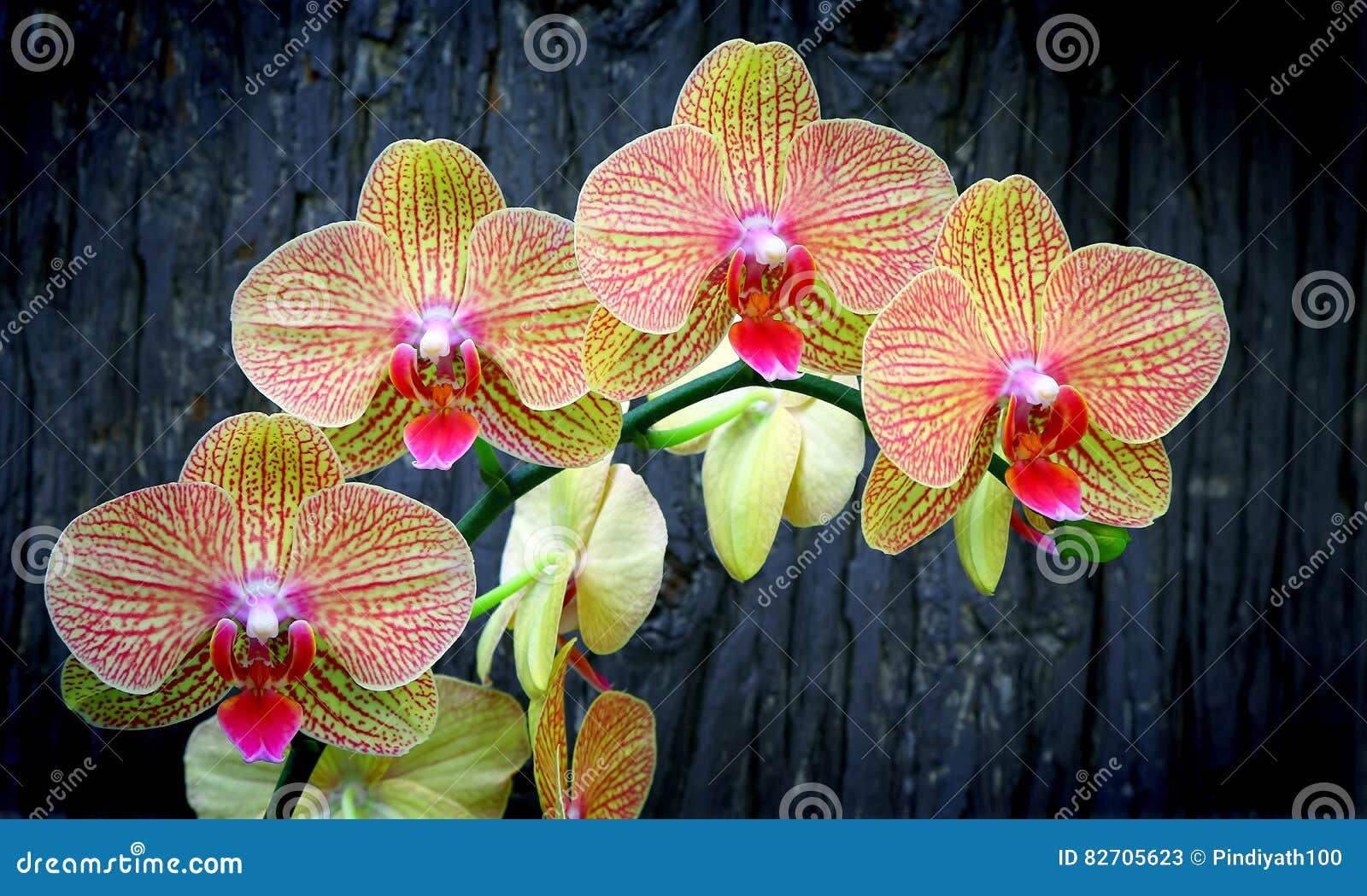 Trillende phalaenopsisorchideeën