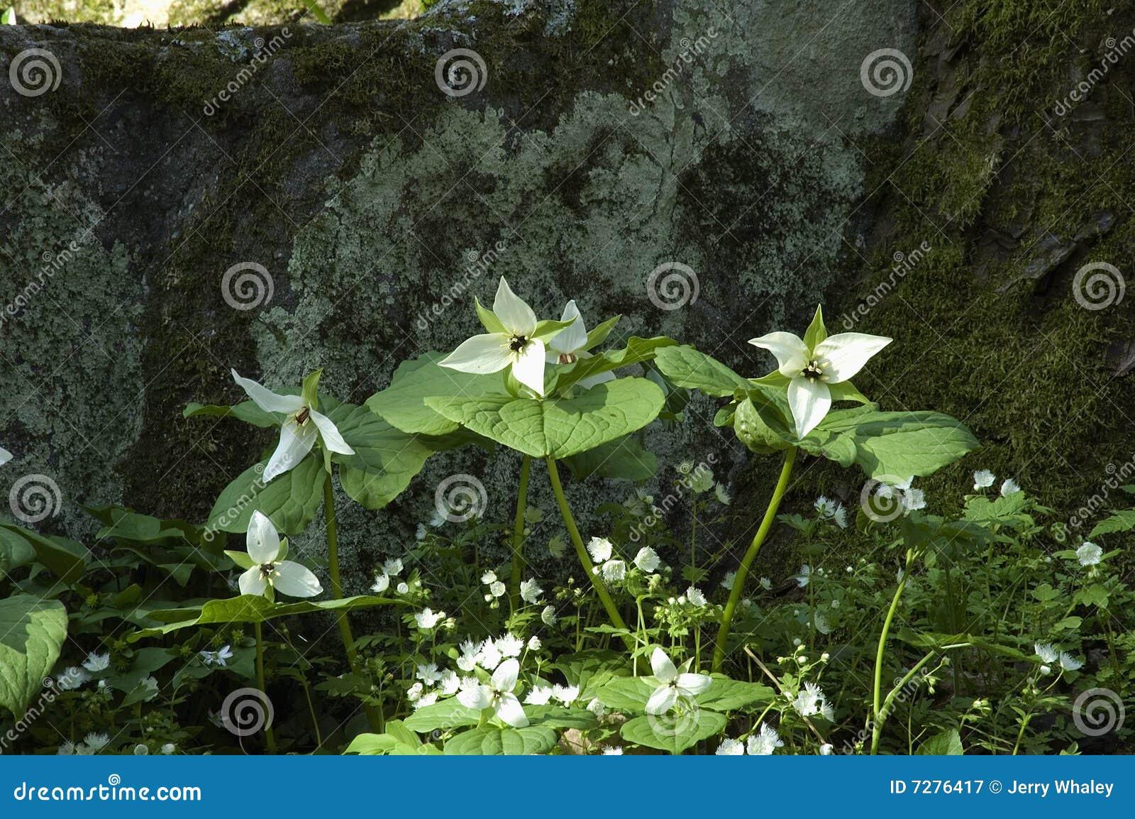 Trillium, resorte temprano, gran Mtns ahumado nacional. Parque