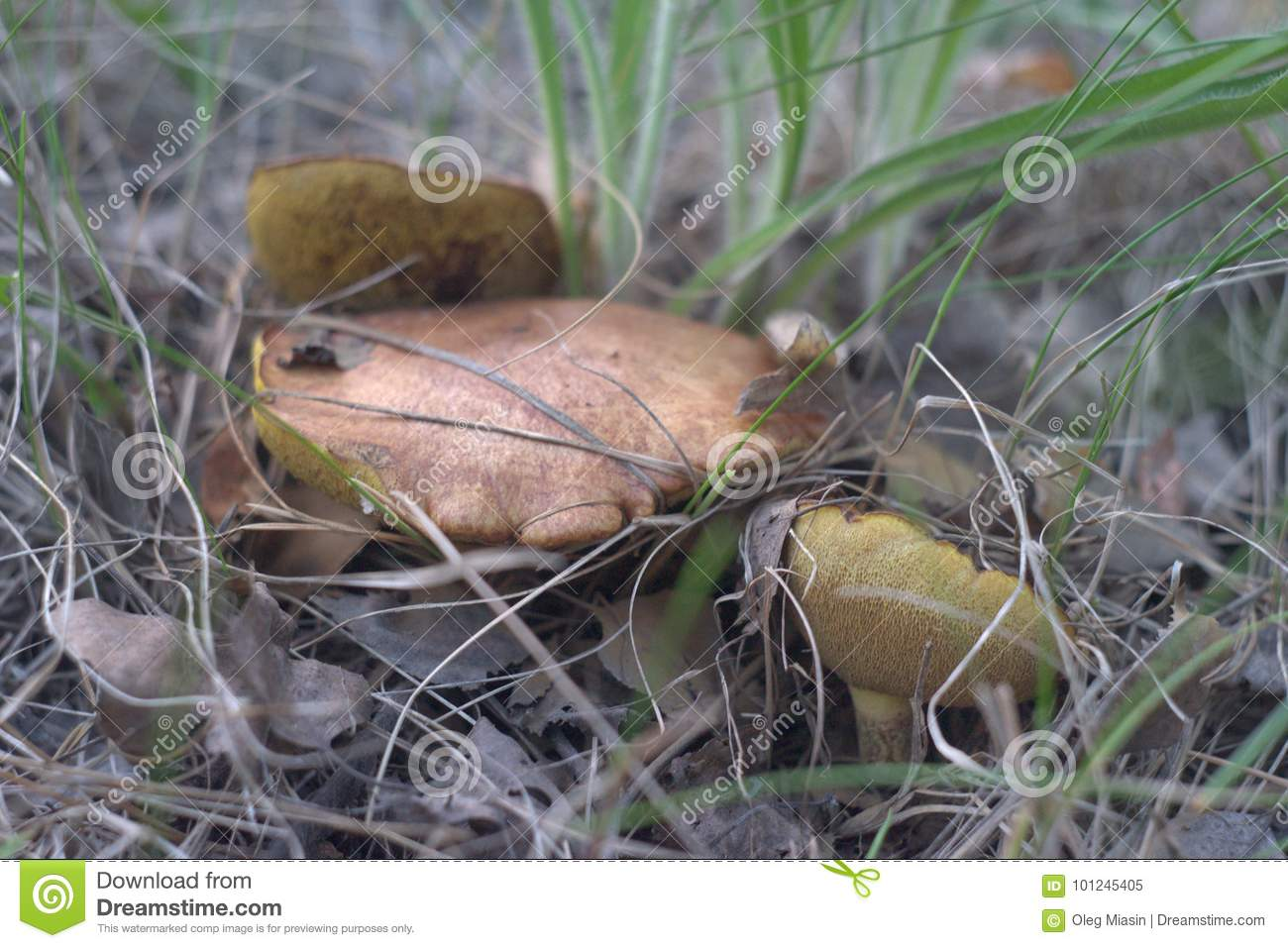 Trinity of old weeping bolete, hiding in the grass and dry leave