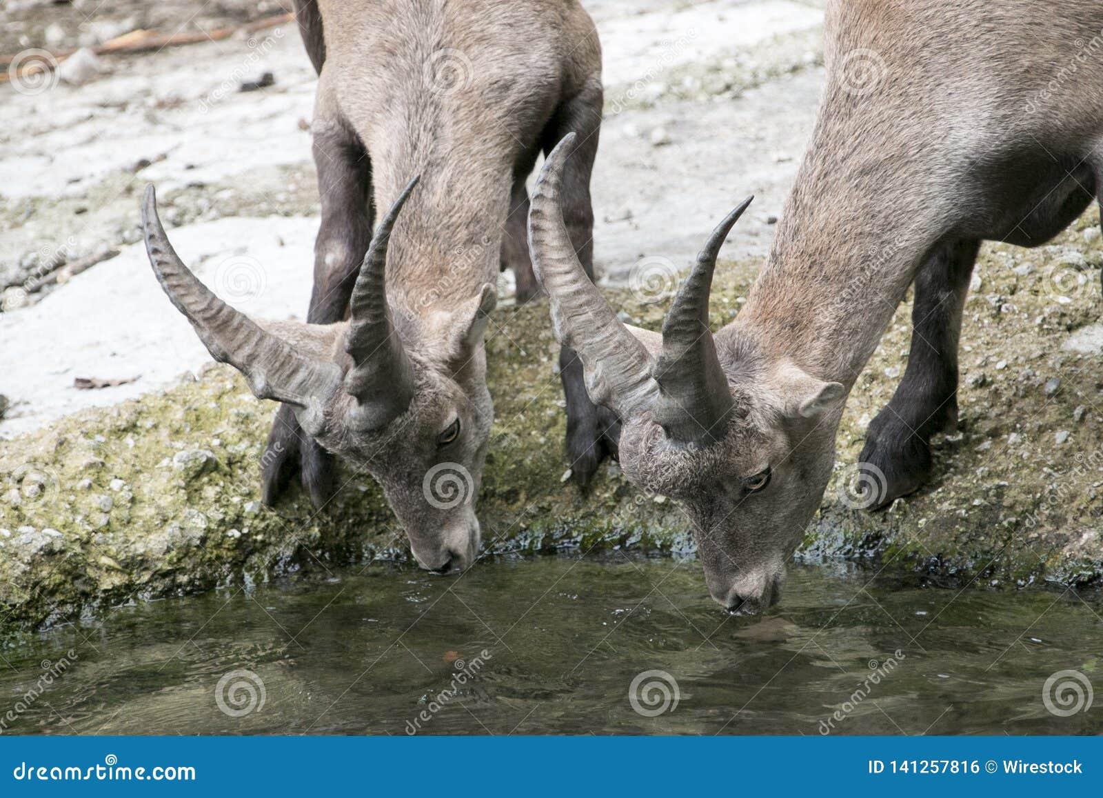 Trinkwasser der durstigen Rotwild