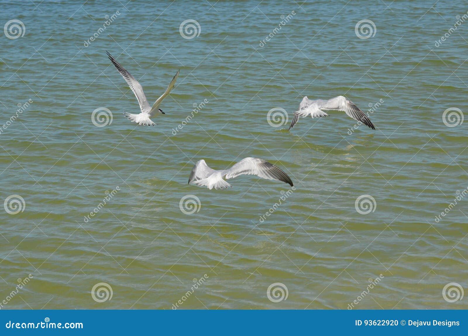 Trio des sternes de sandwich en vol au-dessus de l océan
