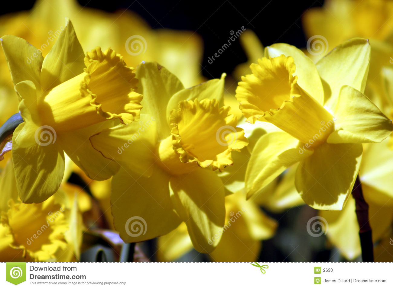 Trio do Daffodil