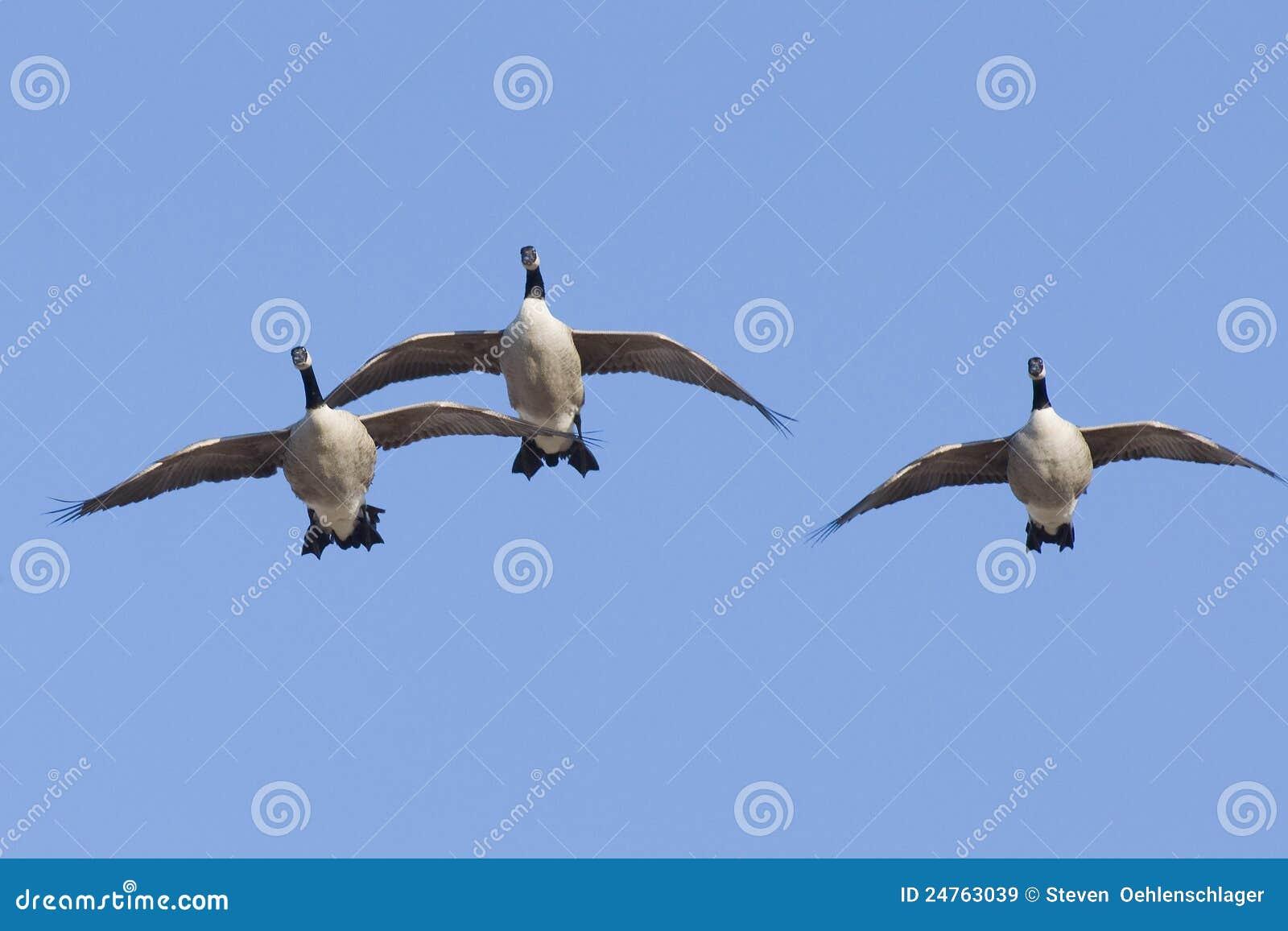 Trio of Landing Geese