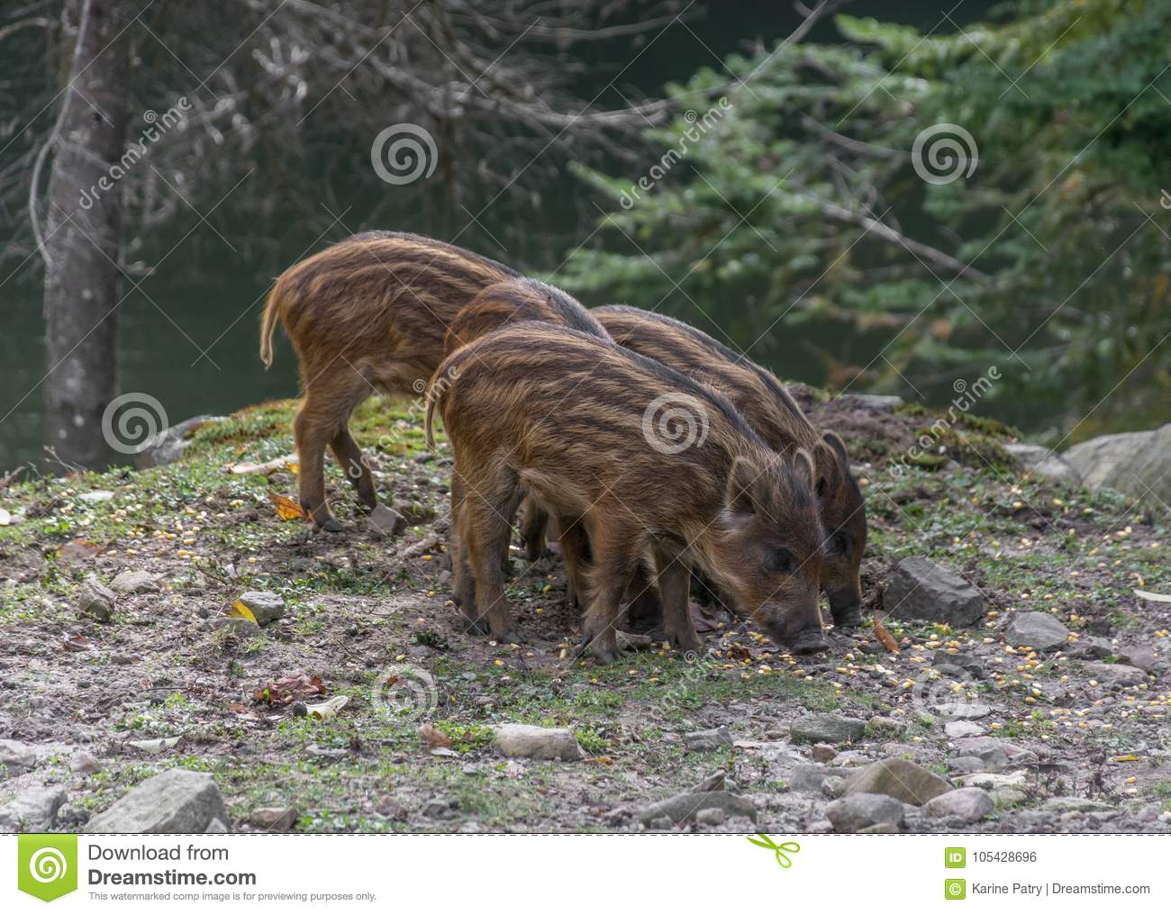 Trio of Baby Boar Eating