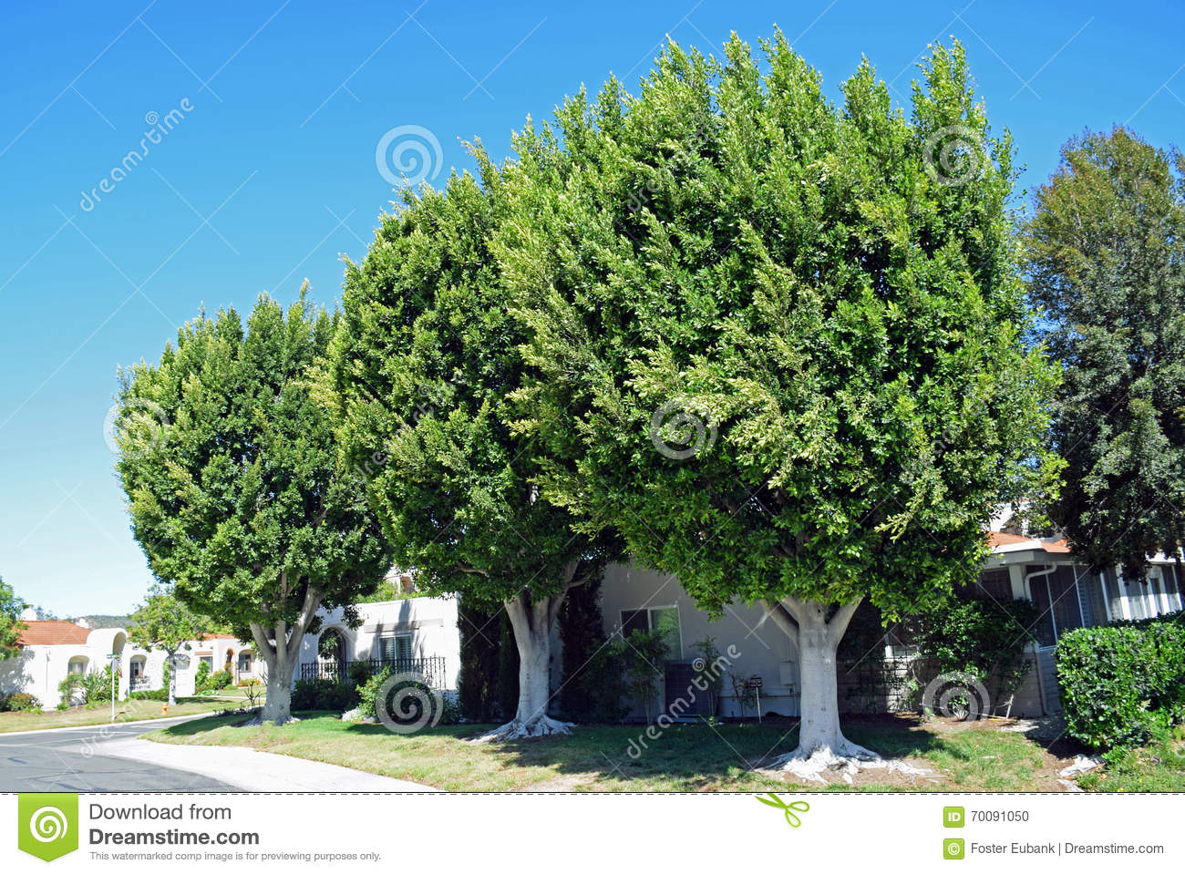 california ficus genus laguna mature tree - Ficus Trees