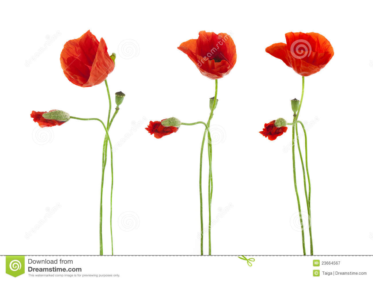 Trio of red poppies flowers isolated stock image image of image download comp mightylinksfo