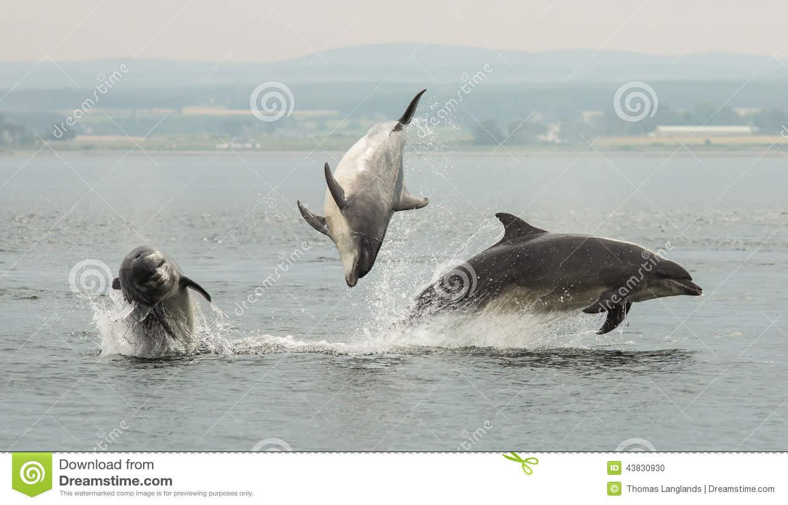 Download Triple Jump stock photo. Image of mammals, moray, black - 43830930