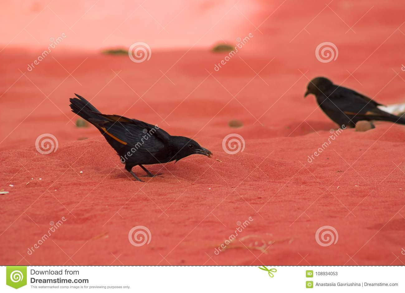 Tristam的椋鸟