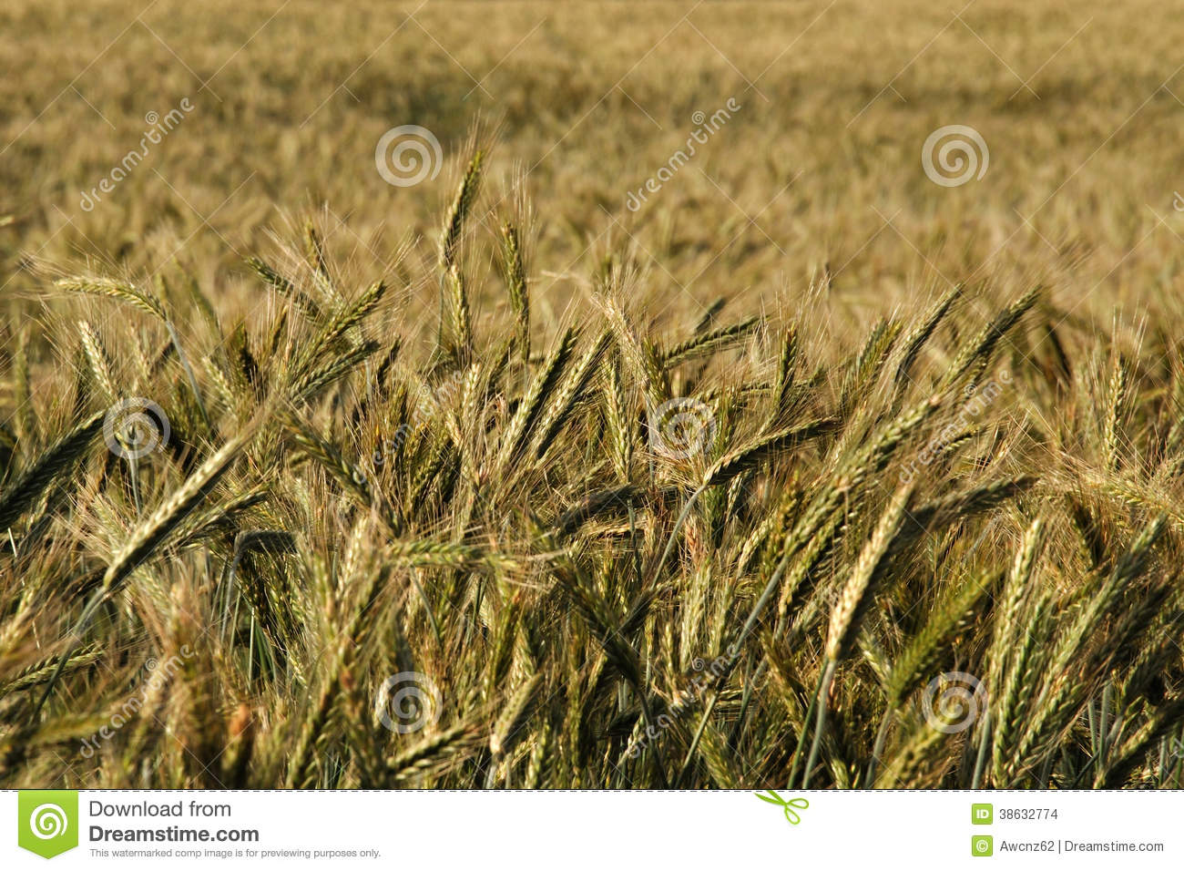 Newzealand Detail: Triticale Crop Stock Images